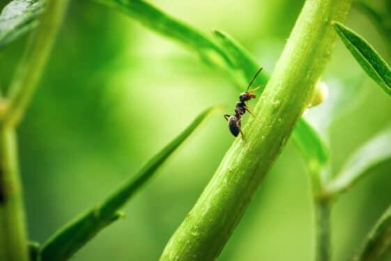 kwas mrówkowy