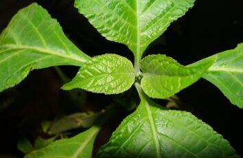 Szałwia Wieszcza (Salvia Divinorum) - roślina, któraumożliwia wyjście zMatrixa